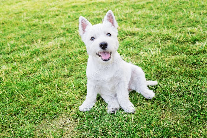 Cute west highland white terrier puppy sitting on the grass and looking at a camera !!Nominated!!