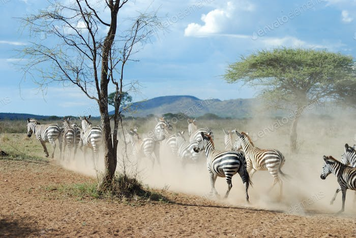 TANZANIA - OCTOBER 21: Zebras captured during the safari by the photographer while running in the