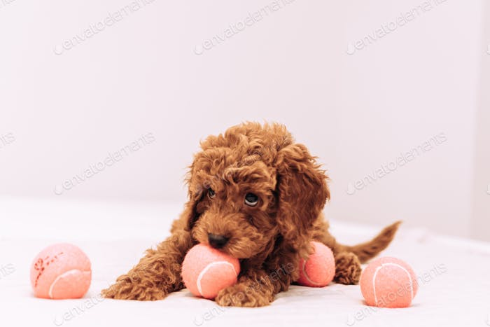 Cute puppy golden doodle playing with tennis balls