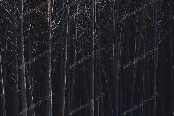 Dark bare forest trees
