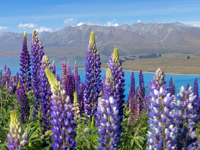 Lupins adorn a New Zealand landscape