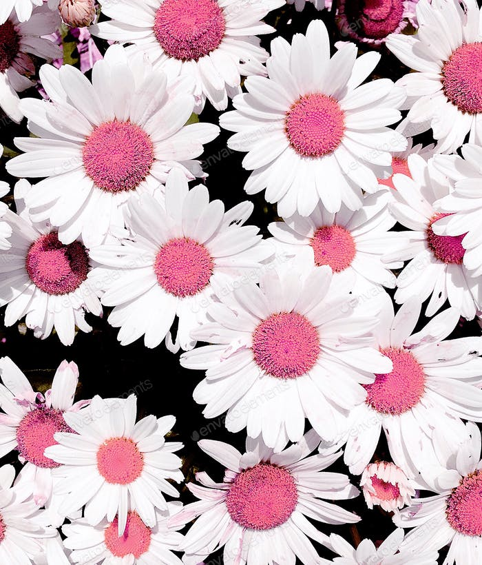 Elusive, unique pink and white daisies!