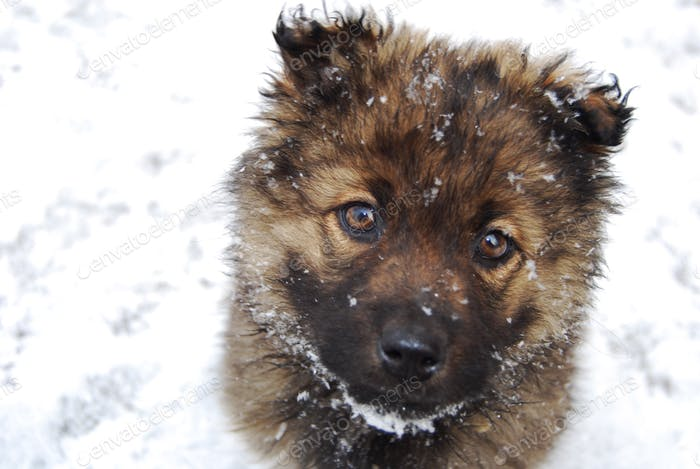 Sad brown puppy with begging eyes in snow.
