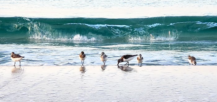 The march of the sandpipers to the beat of the ocean...