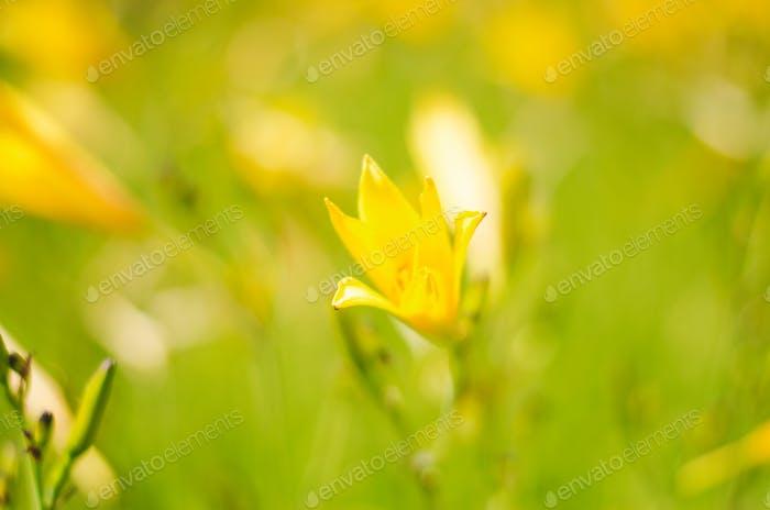 Yellow flowers. Yellow. Nature