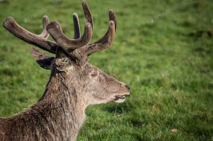 Red Deer, UK.