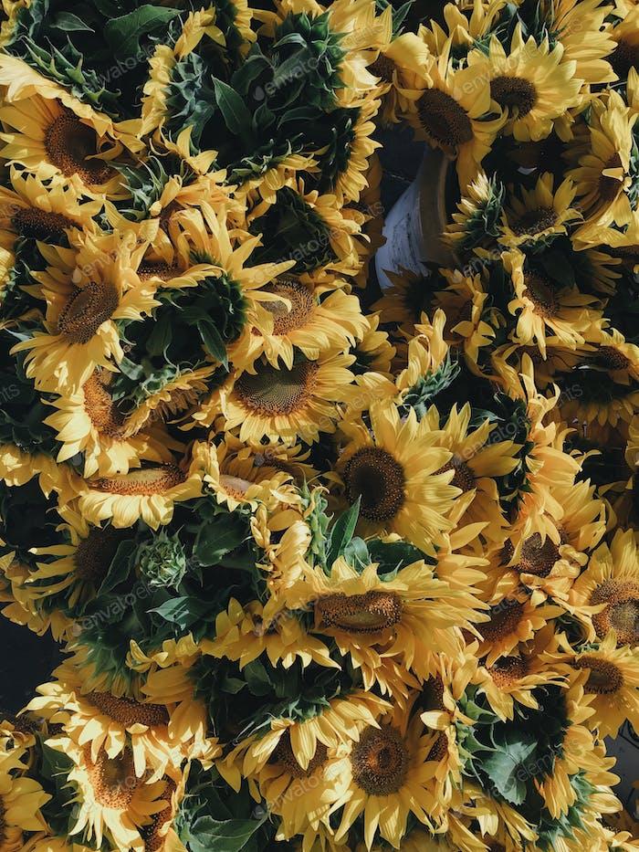 Buckets of sunflowers