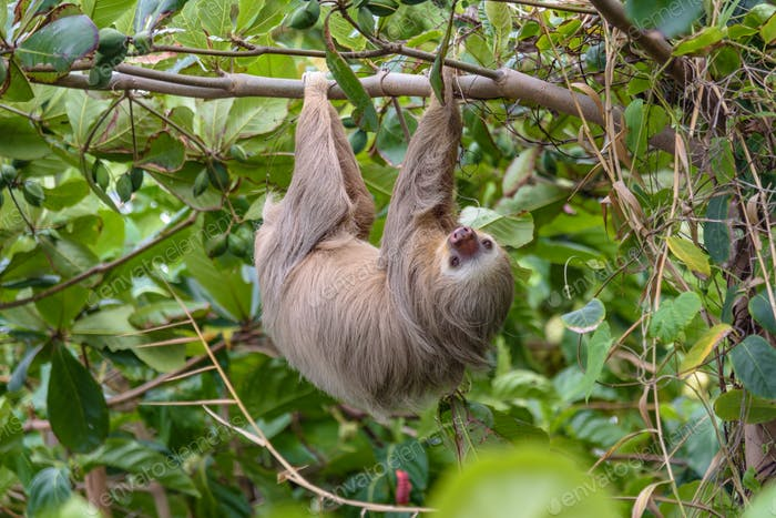 Hoffman's Two-toed Sloth (Choloepus Hoffmanni) in the wild, forest of Costa Rica, Latin America