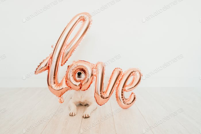 cute small jack russell dog at home with a love balloon on snout. valentines concept