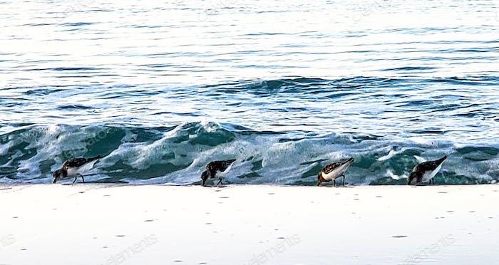 Seevögel, die bereit sind, vor der Brandung einer wunderschönen Seelandschaft und einer Meereslandschaft auf der Suche nach Krebstieren zu laufen.