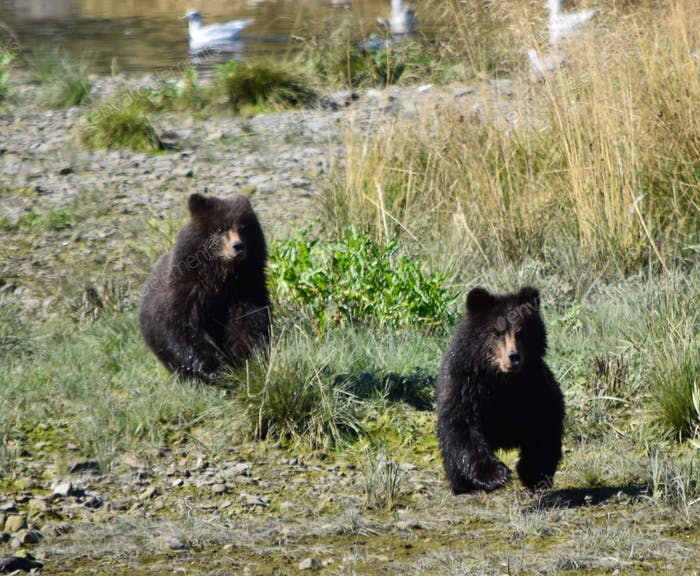Baby grizzly bear cubs race towards us in search of their mother