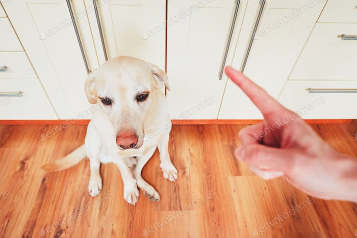 Hand of man and guilty dog (yellow labrador retriver) at home.