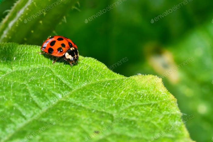 Close up of ladybug on the leaf