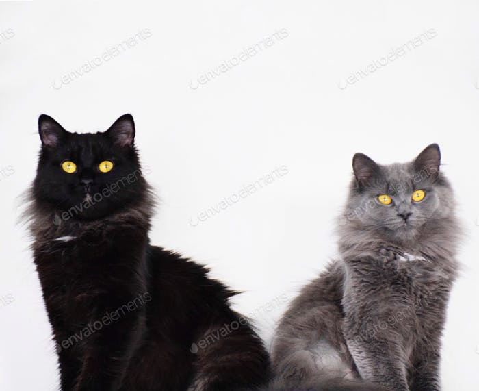 Portrait of two cats isolated on white background with space for copy