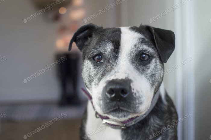A cute Staffordshire Bull Terrier dog looking into camera as he sits in a cosy home