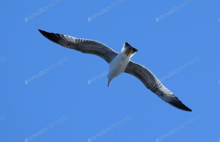 A seagull flying overhead against a blue sky
