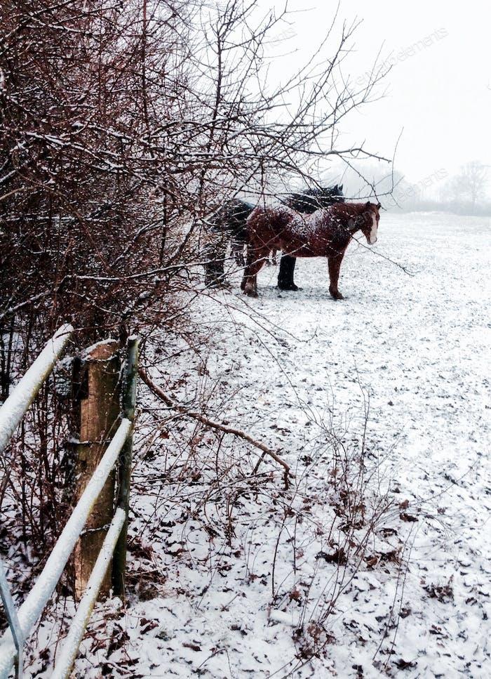 Winter Romans.Horses in Winter