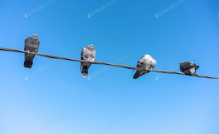 Pigeons on electric line