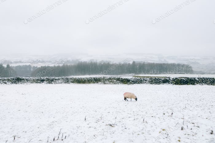 Sheep in snow in West Yorkshire, United Kingdom