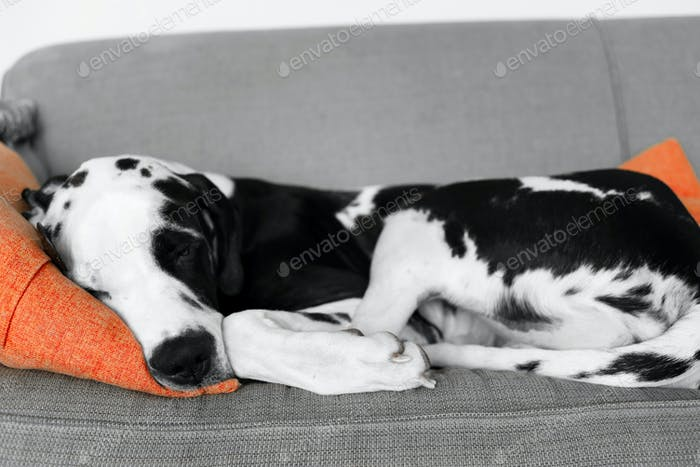 Sleeping great dane puppy on sofa with orange pillow