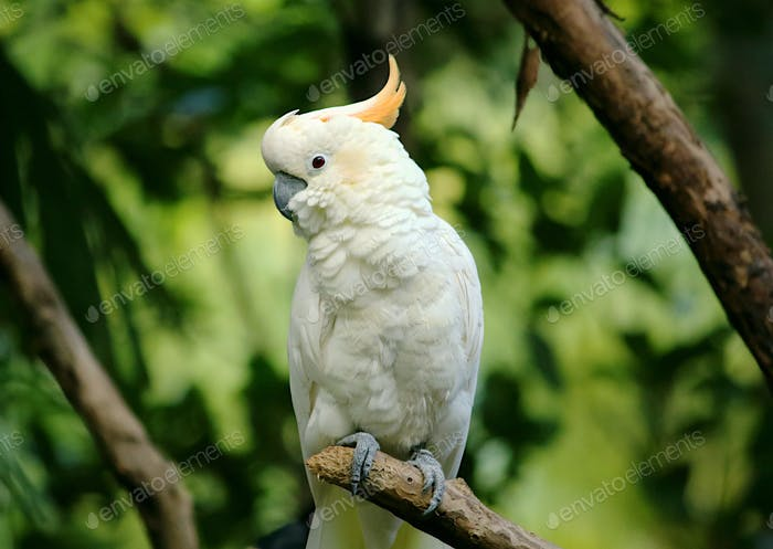 White and yellow cockatoo with green jungle background