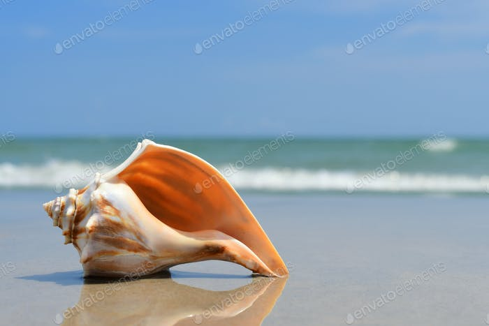 Seashell laying on the beach at the ocean