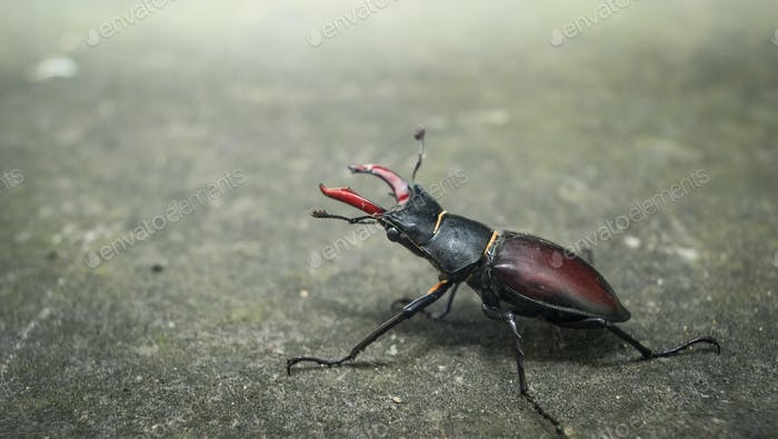 Male Stag Beetle. London.