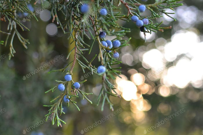 Dappled sunlight through the branches of an evergreen tree with blue juniper berries in the forest
