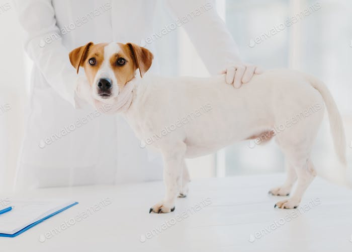 Professional vet doctor examines sick pedigree dog in clinic