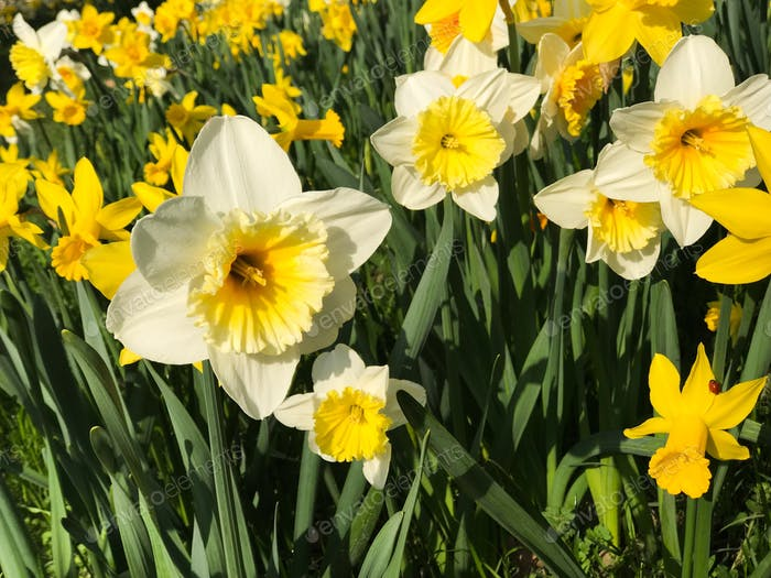 Field of daffodils 🌼