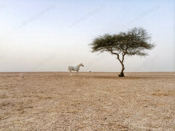 White horse. Arabian horse. One tree. Desert scene. Qatar. Wild horse.