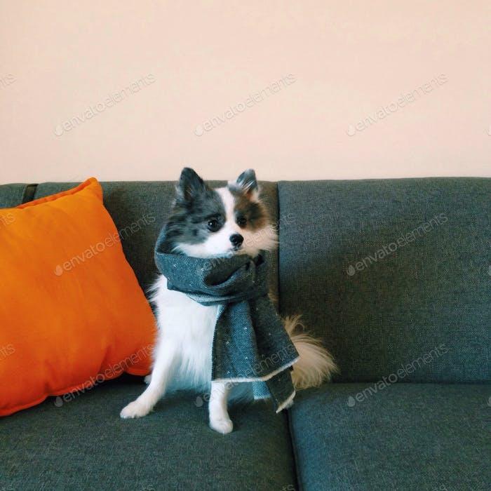 Hund trägt Schal