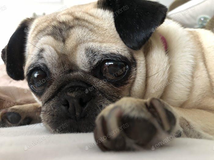 Pug dog up close with big brown sad eyes