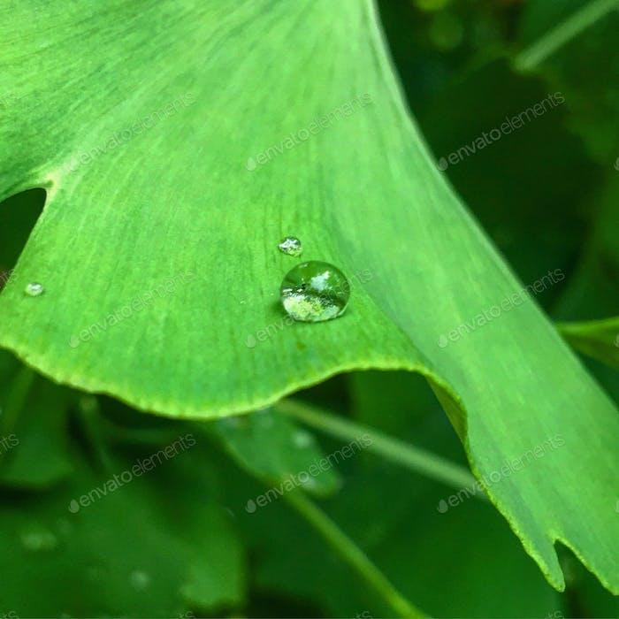 Water droplet on gingko leaf