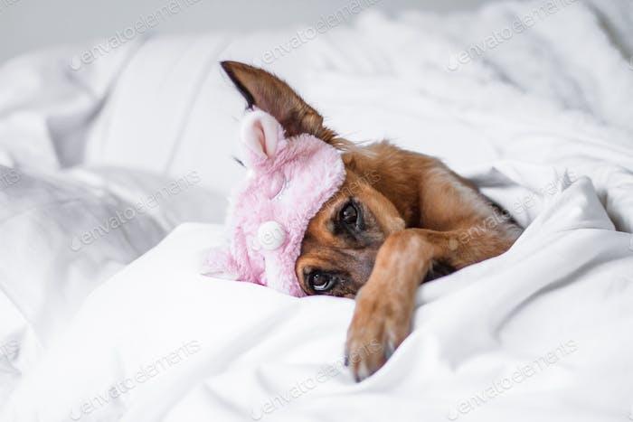 Настроение выходного дня! 💤 Симпатичная собака лежа спрятан в постели глядя в камеру  💜 Номинирован уже 💜