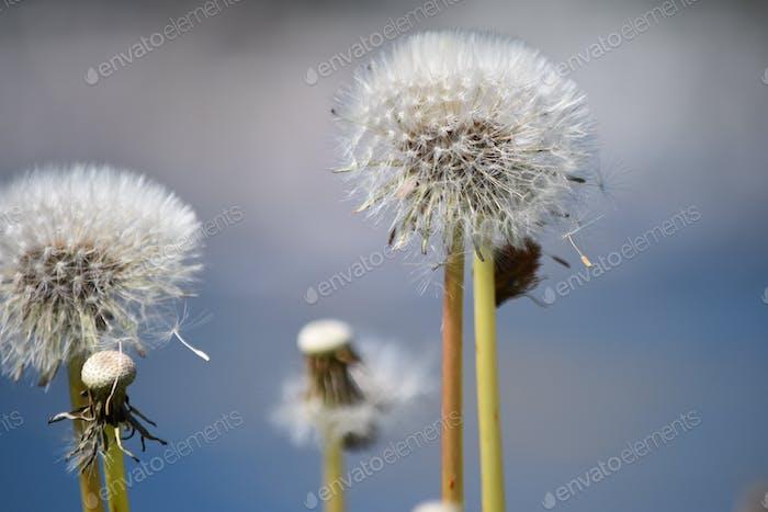 Dandelion hay fever allergy season allergies