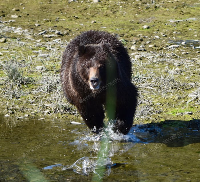 Grizzly running through creek