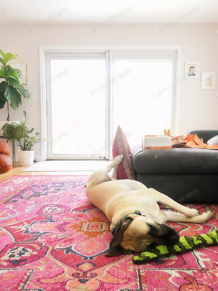 Large English mastiff dog sleeping on a pink rug in a light bright room with houseplants.