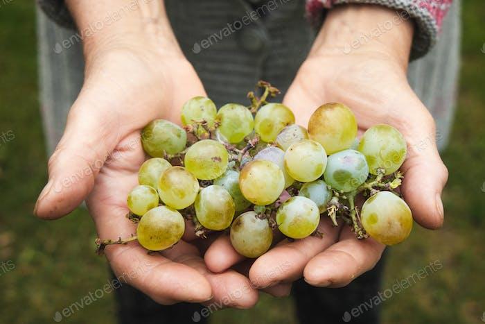 An elderly woman's hands hold organic grapes