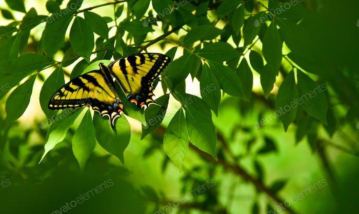 Besucher Schmetterlingsbaum