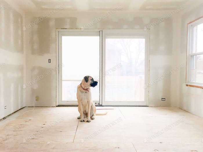 English mastiff dog sitting on bare floor in bare room with fresh drywall and bright light.