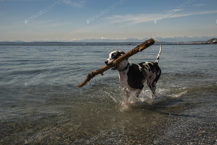 Great Dane retrieving a large stick from water.