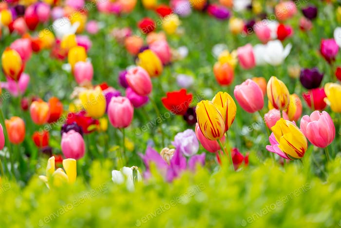Campo de tulipanes en primavera en Praga, República Checa. Primer plano.