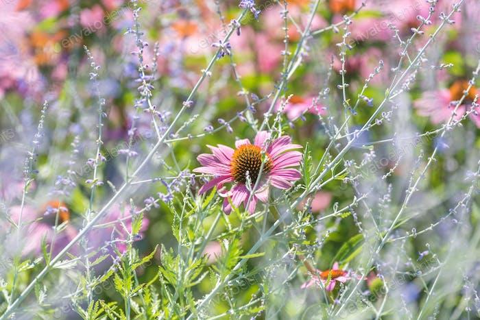 Pink cone flowers, coneflower