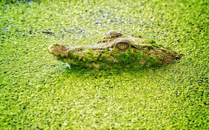 Die Crocs