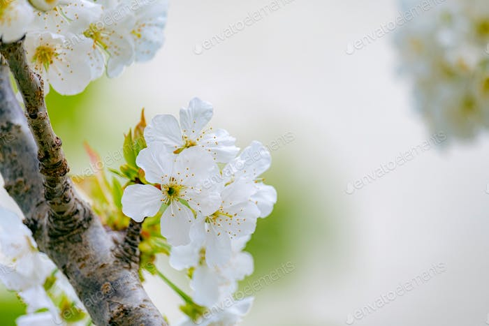 Spring blossoms of apple