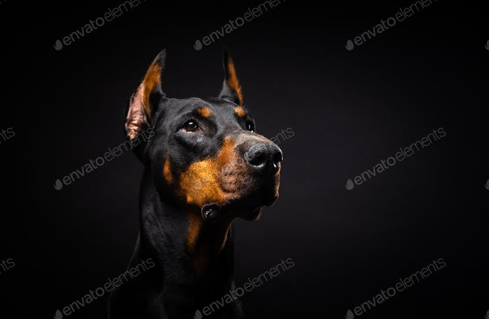 Portrait of a Doberman dog on an isolated black background.