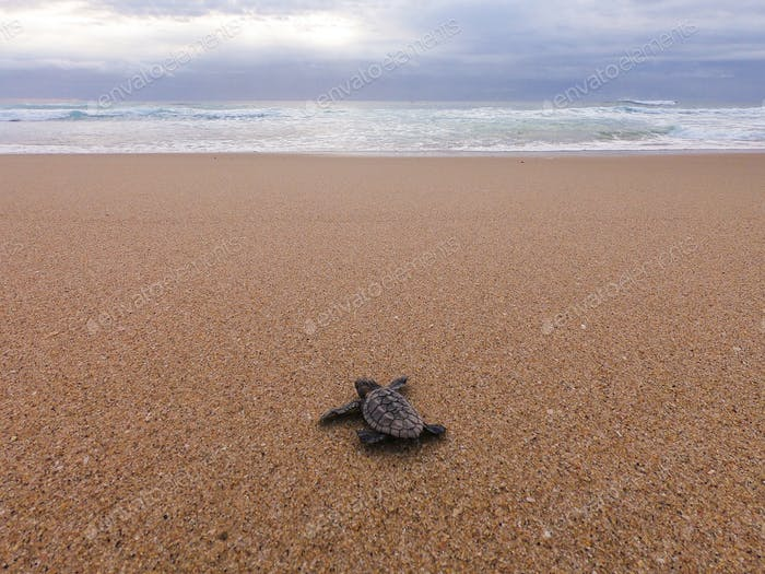 Loggerhead turtle hatchling making its way to the ocean from the nest.