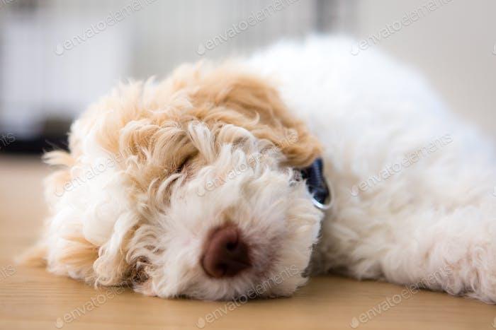 Gently sleeping sweet Lagotto Puppy 9 weeks old