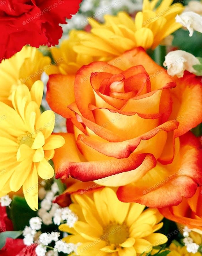 Nahaufnahme einer gelben Rose mit orangefarbenen Spitzen Lon the pedals